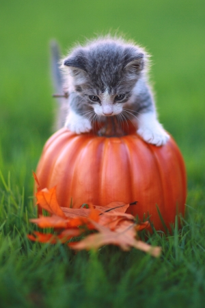 Kitten in the Grass With Pumpkin Stock Photo - 16066102