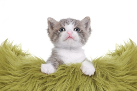 Cute Little Kitten Portrait in Studio on White Background Stock Photo - 16066123