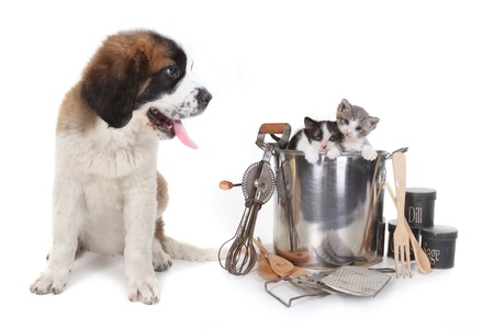 Funny Image of Saint Bernard Watching Kittens in a Cooking Pot Stock Photo - 16066171