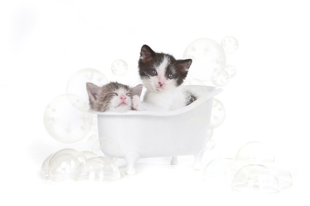 gray cat: Cute Kitten Portrait in Studio Taking a Bath