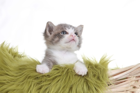 Cute Little Kitten Portrait in Studio on White Background Stock Photo - 16833165
