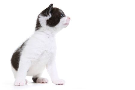 Cute Little Kitten Portrait in Studio on White Background Stock Photo - 16833108