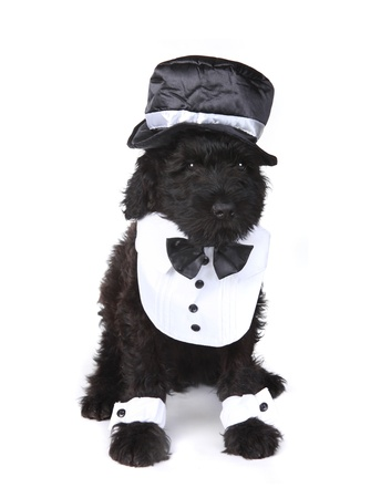 Black Russian Terrier Puppy Dog on White Background Stock Photo - 16833083