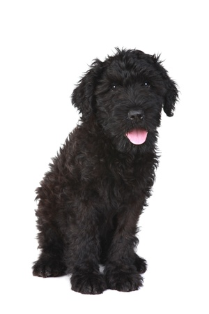 Black Russian Terrier Puppy Dog on White Background Stock Photo - 16833158