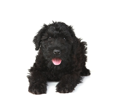 Black Russian Terrier Puppy Dog on White Background Stock Photo - 16833114