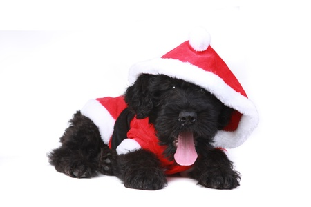 woebegone: Black Russian Terrier Puppy Dog as Santa on White Background Stock Photo