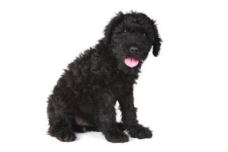 woebegone: Black Russian Terrier Puppy Dog on White Background