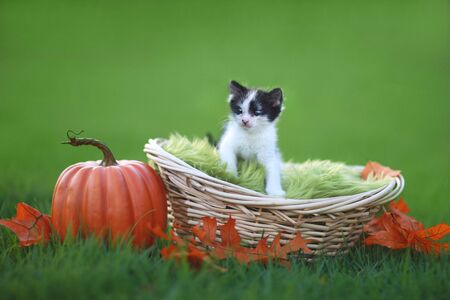 Adorable Baby Kitten Outdoors in Grass With Pumpkin Stock Photo - 16833169