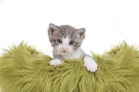 Cute Little Kitten Portrait in Studio on White Background Stock Photo - 16833134