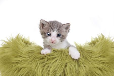 Cute Little Kitten Portrait in Studio on White Background Stock Photo - 16833134