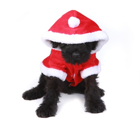 woebegone: Black Russian Terrier Puppy Dog Santa on White Background