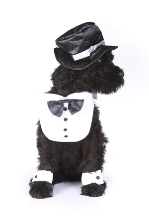 woebegone: Black Russian Terrier Puppy Dog Butler on White Background