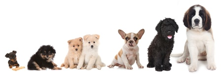 Lineup of 5 Different Breeds of Puppy Dogs on White Stock Photo - 17499584