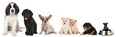 Lineup of 5 Different Breeds of Puppy Dogs on White Stock Photo - 17499588