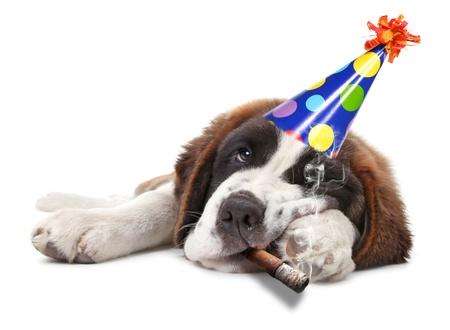 세인트 버나드 강아지 누가 파티를 너무 열심히 흡연