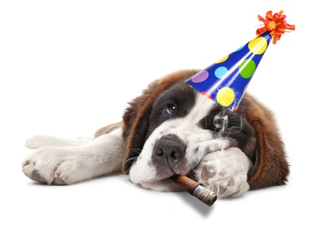 Saint Bernard Puppy Who Partied too Hard Smoking Stock Photo - 17499541