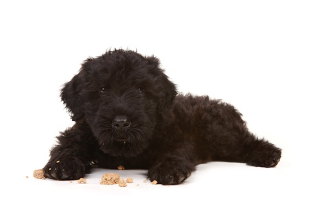 Black Russian Terrier Puppy on White Background Stock Photo - 18365654