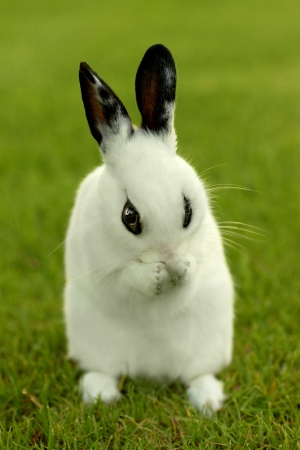 lapin blanc: Adorable lapin blanc en extérieur dans l'herbe