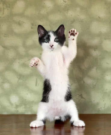 Funny Kitten Standing on Hind Legs Waving Stock Photo - 18365657
