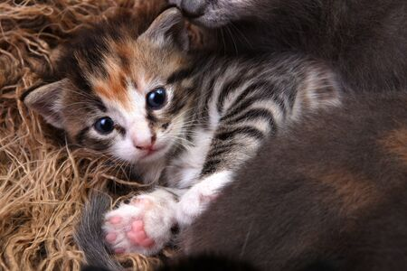 Cute Baby Kitten Lying in a Basket With Siblings Stock Photo - 19485804