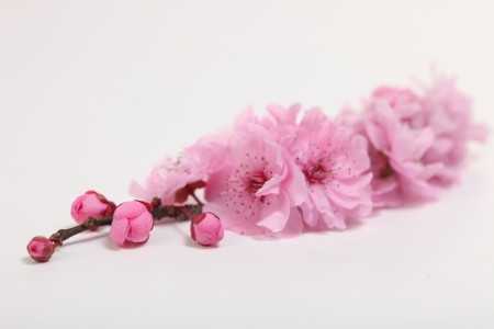 Pink Cherry Blossom Sakura on White Background Stock Photo - 19485633