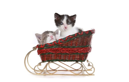 Cute Kittens in a Santa Christmas Sleigh on White   Stock Photo - 19485706
