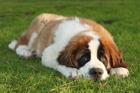 woebegone: Adorable Saint Bernard Purebred Puppy  Stock Photo