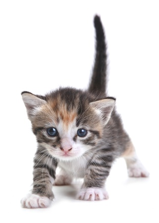 Adorable Kitten on White Background Stock Photo - 19485629