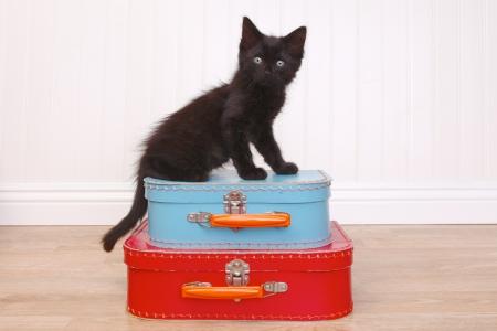 atop: Curious Black Kitten Sitting Atop Luggage on White