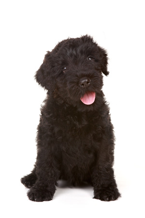 woebegone: Black Russian Terrier Puppy on White