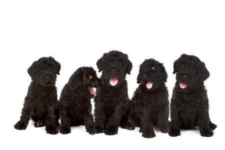 woebegone: Happy Litter of Black Russian Terrier Puppies