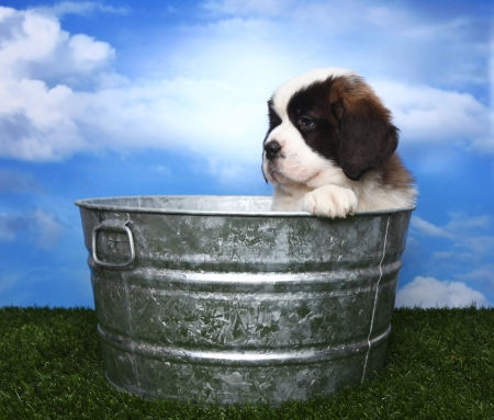 woebegone: Cute and Adorable Saint Bernard Pup With Copy Space for Text