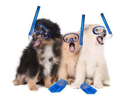 stitting: Silly Pomeranian Puppies Wearing Snorkeling Gear