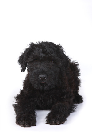 pure bred: Little Black Russian Terrier Puppy on a White