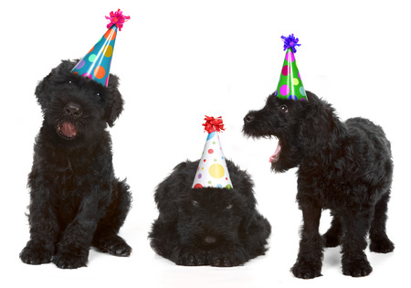 Silly Singing Black Russian Dog Terriers Wearing Birthday Hats photo