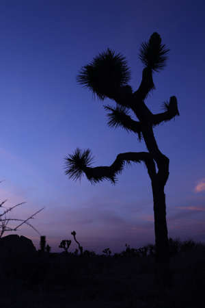 Joshua Tree Silhouette at Dusk photo