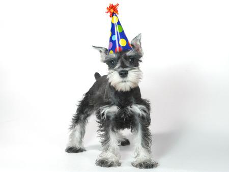 schnauzer: Birthday Celebrating Baby Miniature Schnauzer Puppy Dog on White
