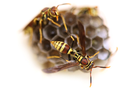 pupae: Two Wasps Making Their Nest  With Pupae
