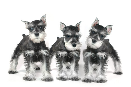 miniature breed: Adorable y lindo bebé Mini Schnauzer Dog Puppy en Blanco