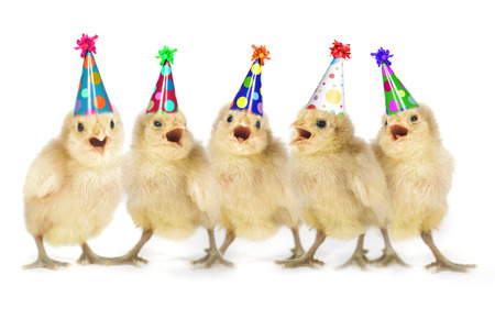 Birthday Yellow Baby Chicks Lined Up Foto de archivo
