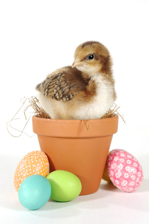 Easter Themed Image With Baby Chicks and Eggs