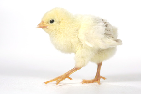 Cute Baby Chick Chicken on White Background