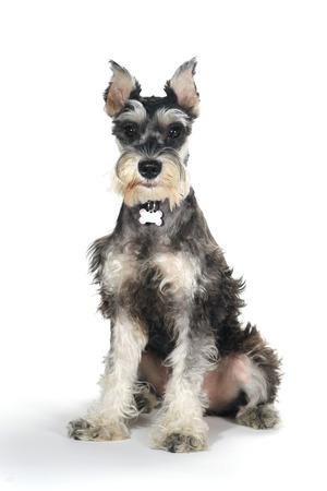 schnauzer: Miniature Schnauzer Puppy Dog on White Background