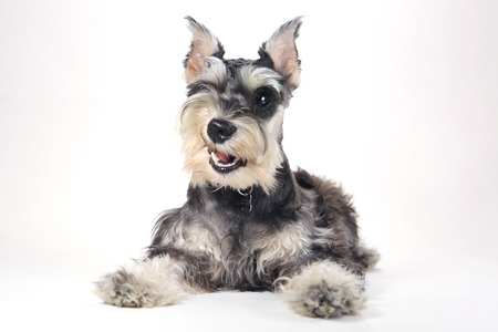 Miniature Schnauzer Puppy Dog on White Background