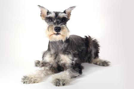 miniature breed: Schnauzer miniatura del perro de perrito en el fondo blanco