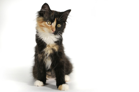 adopt: Small Long Haired Domestic Kitten With a Split Face