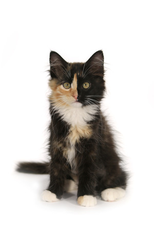 Small Long Haired Domestic Kitten With a Split Face photo