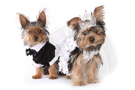 Bridal Couple Yorkshire Terrier Puppies on White Background photo