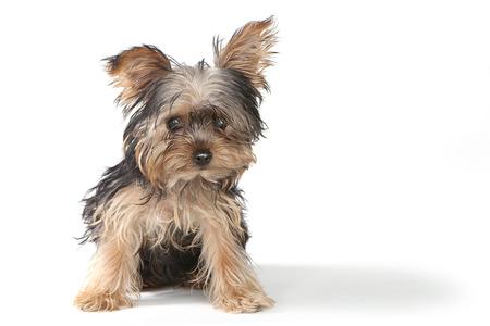 Alles Gute Zum Geburtstag Thema Yorkshire Terrier Welpen Auf Weiss
