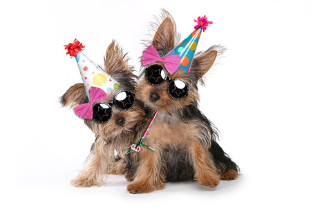 Happy Birthday Theme Yorkshire Terrier Puppies on White Singing Foto de archivo